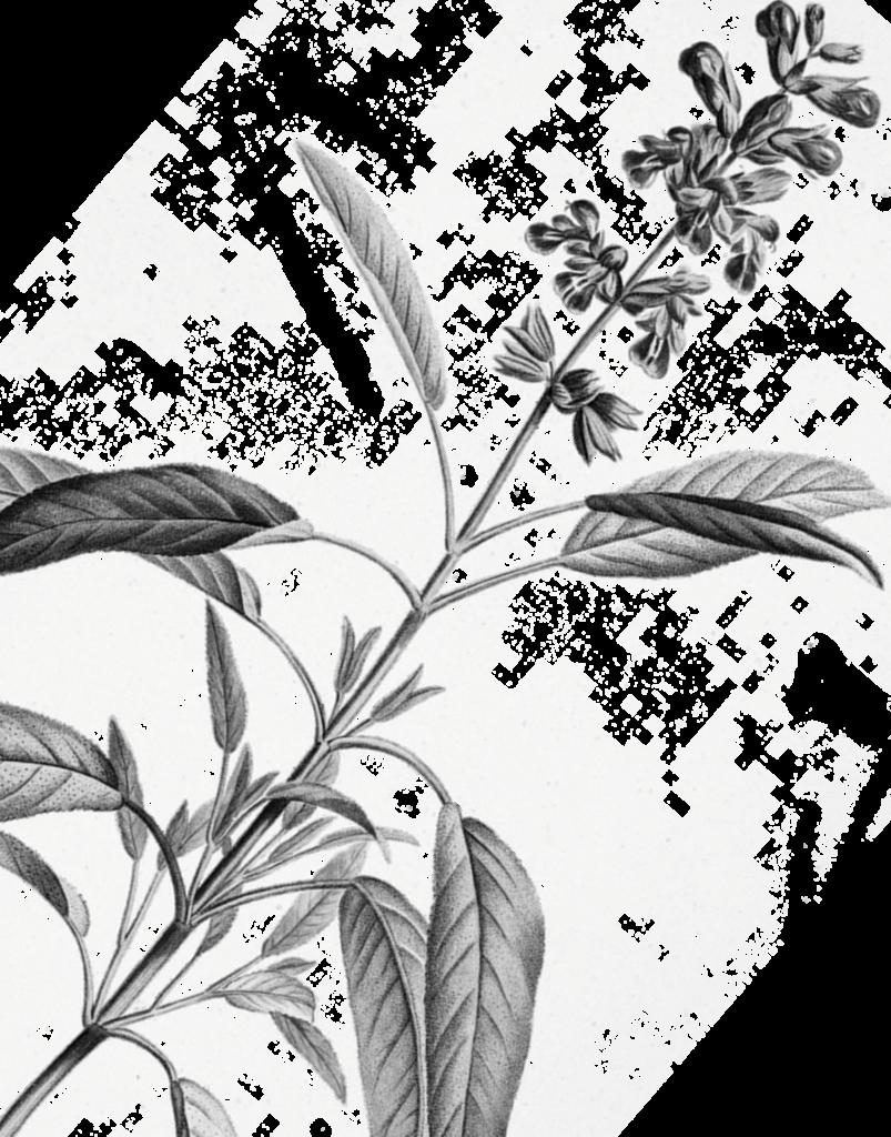 plante gravure left
